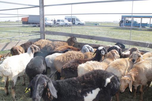 Павлодар: 22 қара мал, 1282 қой құрбан шалынды