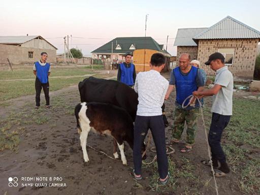 Түркістан: Мұқтаж отбасыға бұзаулы сиыр берді